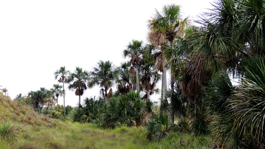 Mauritia flexuosa topics | Tree-Nation - Forestry knowledge