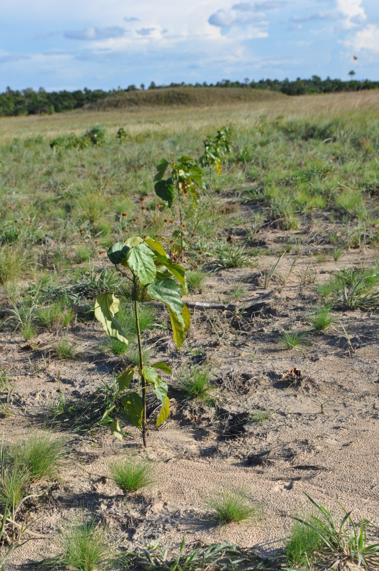 Bixa orellana topics | Tree-Nation - Forestry knowledge database